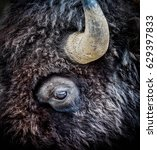 Small photo of American Bison Eye