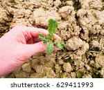 Small photo of Farmer hand hold rapeseed in spring field, looking for pests. Agriculturalist check quality of flower, leaves, stalk and roots of young rapeseed (Brassica napus), well known as rape, oilseed rape