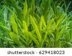 ginger leaves. | Shutterstock . vector #629418023