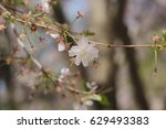 Small photo of Accolade Flowering Cherry