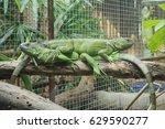 Green Iguana In Zoo