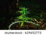 Cannabis Plant   Beautiful...