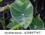 closeup taro growing on plant. | Shutterstock . vector #629897747
