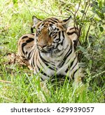 royal bengal tiger | Shutterstock . vector #629939057