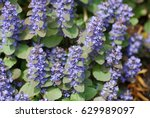 Small photo of Flowering ajuga ground cover in a garden.
