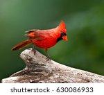 cardinal perched   Shutterstock . vector #630086933