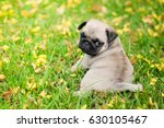 Stock photo baby pug dog playing on grass and yellow flower 630105467