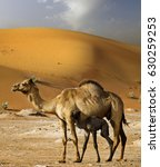 Small photo of Camel with baby in desert sand dunes, United Arab Emirates, concept for wildlife, holiday, environment advertorial ads.