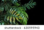 monstera philodendron plant...   Shutterstock . vector #630595943