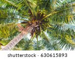 fresh palm tree with coconuts.... | Shutterstock . vector #630615893