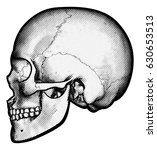 skull in profile side view... | Shutterstock .eps vector #630653513