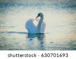 swan floating on the water  at... | Shutterstock . vector #630701693