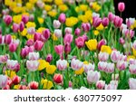 colorful tulips   taiwan | Shutterstock . vector #630775097