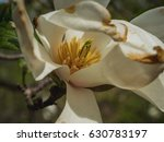 Small photo of Close-up view of wide open white blooming magnolia with stamen. Beautiful spring bloom for magnolia tulip trees white flowers. Selective focus.