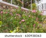 Pink Nerium Oleander In Bloom