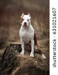 Small photo of Beautiful American Pit Bull Terrier in the nature