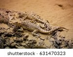 Small photo of Laudakia lehmanni or Turkestan rock agama Trapelus sanguinolentu. Trapelus is a genus of Middle Eastern agamid lizards, which contains 16 species