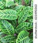 zebra plant's beautiful leaf... | Shutterstock . vector #631490363