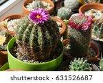 parodia werneri  notocactus... | Shutterstock . vector #631526687