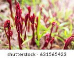 Spring Peonies Shoots. Growing...