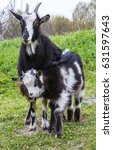 goat in the grass | Shutterstock . vector #631597643