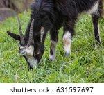 goat grazing on green grass | Shutterstock . vector #631597697