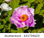 peony and bee.   Shutterstock . vector #631734623