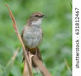 Small photo of Lesser Swamp Warbler, Acrocephalus gracilirostris