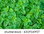 melissa plant. lemon balm in... | Shutterstock . vector #631916957