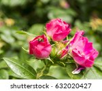 Flowers Of A Dogrose  Rose Dog...