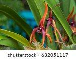 Small photo of Closeup of Orange Maxillaria nigrescens Orchid grown in Tasmania, Australia