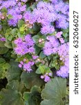 Small photo of floss flower (Ageratum houstonianum)