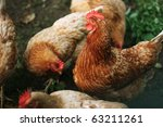 hens in organic farming on grass | Shutterstock . vector #63211261