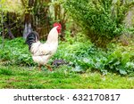 Healthy White Rooster Walking...