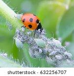 ladybird eating aphids | Shutterstock . vector #632256707