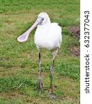 Small photo of African Spoonbill standing on lush green grass