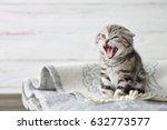 Stock photo cute scottish fold kitten yawning in blanket 632773577