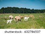 sheep and white lamb on a green ... | Shutterstock . vector #632786537
