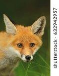 the red fox  vulpes vulpes  ... | Shutterstock . vector #632942957
