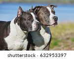 two blue staffordshire terriers ...   Shutterstock . vector #632953397