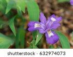 amazing iris flowers with... | Shutterstock . vector #632974073