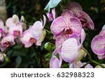 pink orchids in a hothouse | Shutterstock . vector #632988323