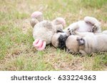 mama and baby pug dog playing... | Shutterstock . vector #633224363