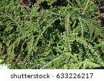 Flowering Cotoneaster In Sprin...