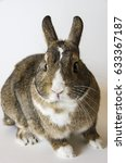 Small photo of A rabbit, a pygmy rabbit, an agouti Netherland Dwarf isolated against white background.