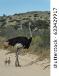 Male Ostrich With Two Chicks I...