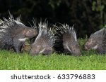 malayan porcupine  himalayan... | Shutterstock . vector #633796883