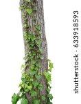 Ivy Vines Climbing Tree Trunk...