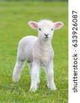 small cute lamb gambolling in a ...
