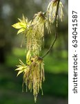 Small photo of Male flowers of Acer Negundo. Flowering maple tree. Springtime